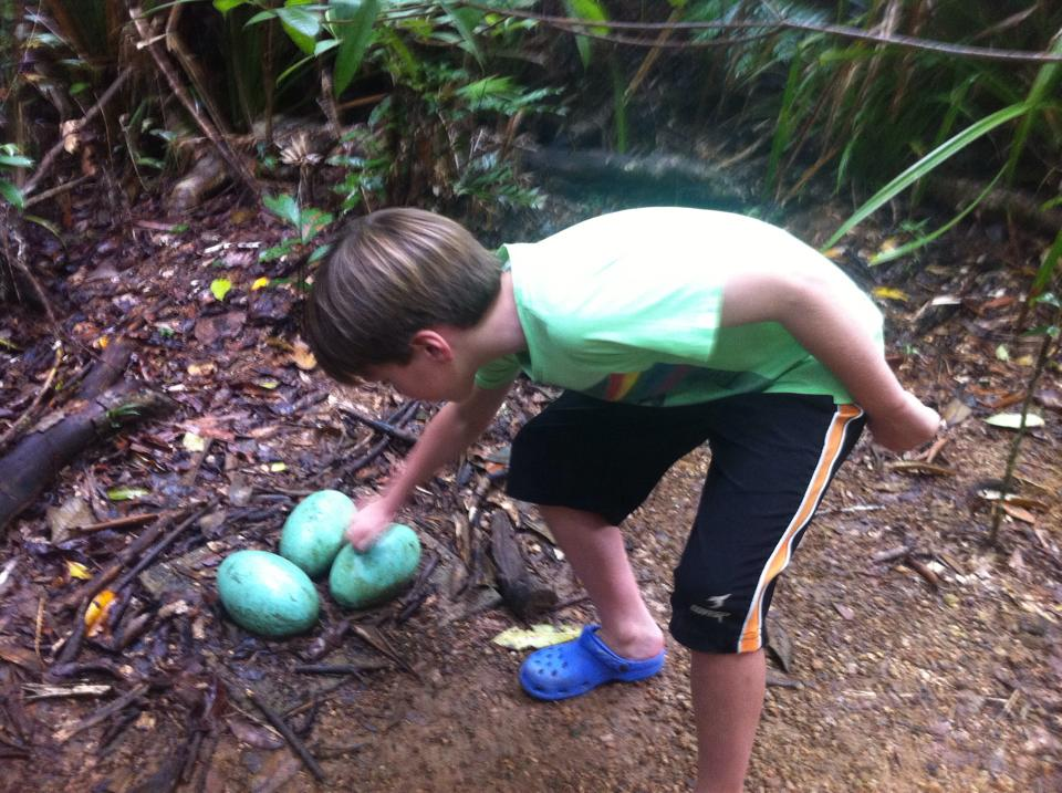 Cassowary Eggs Picture And Images